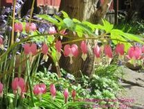 Picture of bleeding heart
